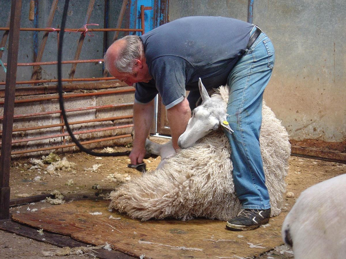 Schafskaelte-Schafschur2