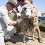 Бонитировка овец