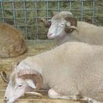 Цигайская порода овец