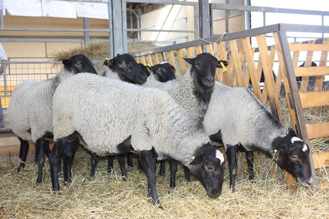 romanovskaya-poroda-ovec