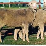 Направления в овцеводстве (Типы овец)
