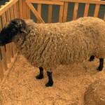 Системы содержания овец