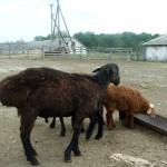 Особенности графиков кормления и поения овец