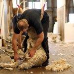 Полезные видео по стрижке овец