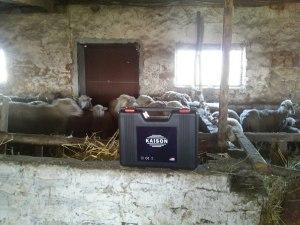 Кайсон на фоне овец моих